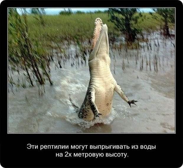 Факты о крокодилах и их среде обитания (20 фото)