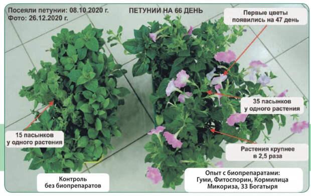 Биотехнология выращивания петуний, которой я пользуюсь