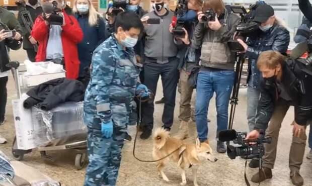 В Шереметьево испытали пса, ищущего больных коронавирусом