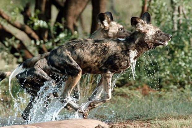 Африканские гиены оказались демократами
