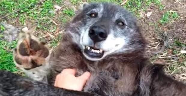 Этот волк просто обожает, когда его чешут