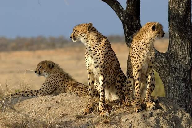 Группа гепардов в резервате Sabi Sand Game в ЮАР