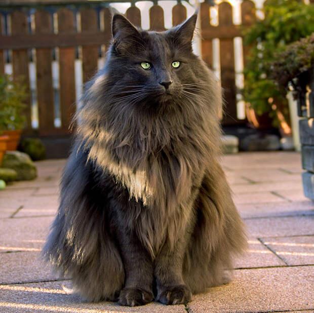 Великолепная норвежская лесная кошка.