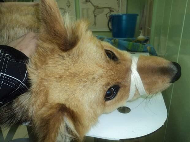 Собака со сломанным позвоночником не бросала своих щенков, несмотря ни на что…