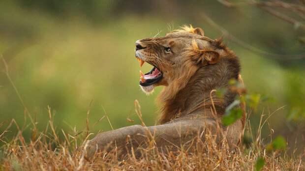 Царь зверей Лев - опасное животное