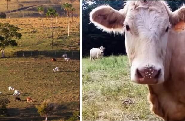 Видео: Дрон увидел в облике коровы нечто странное — ее нос покрывали иглы ежа