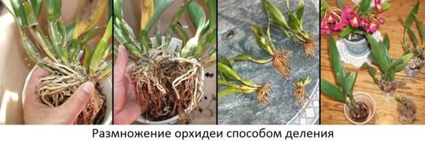 Размножение орхидей фото