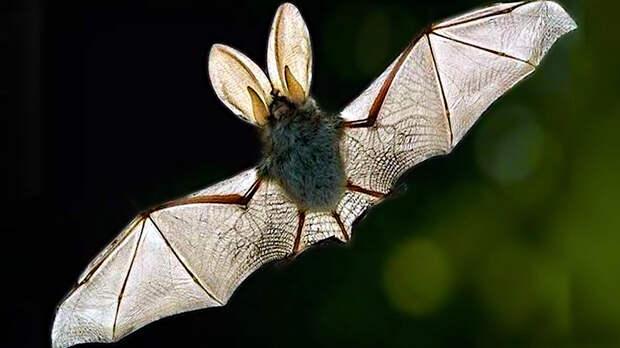 Новые виды коронавирусов у летучих мышей обнаружили китайские ученые