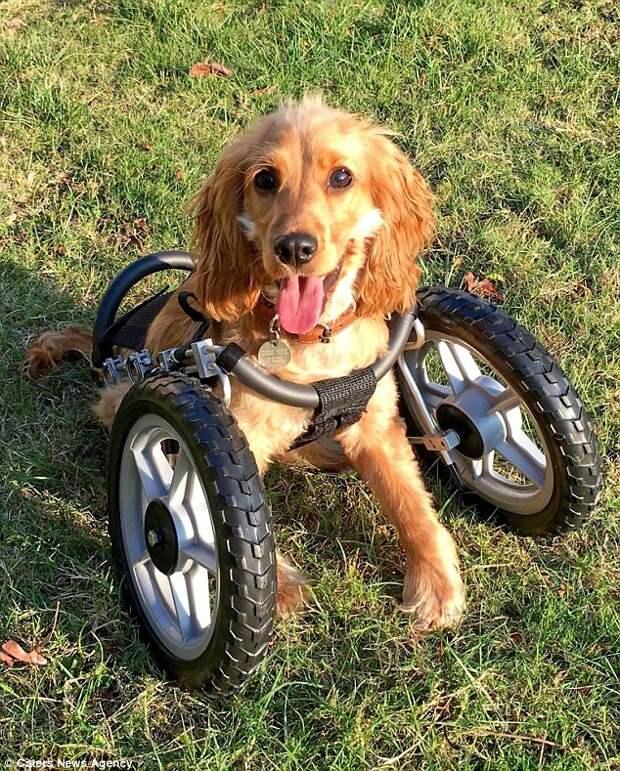 Собака с удовольствием гуляет  инвалид, коляска, собака