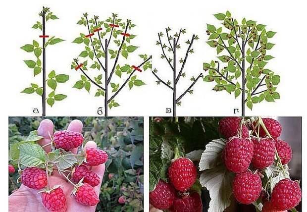 Увеличь урожай малины