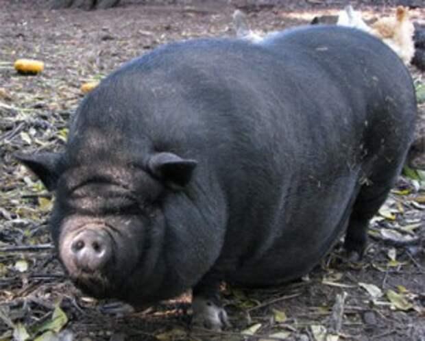 необычные домашние животные: пузатые свинки
