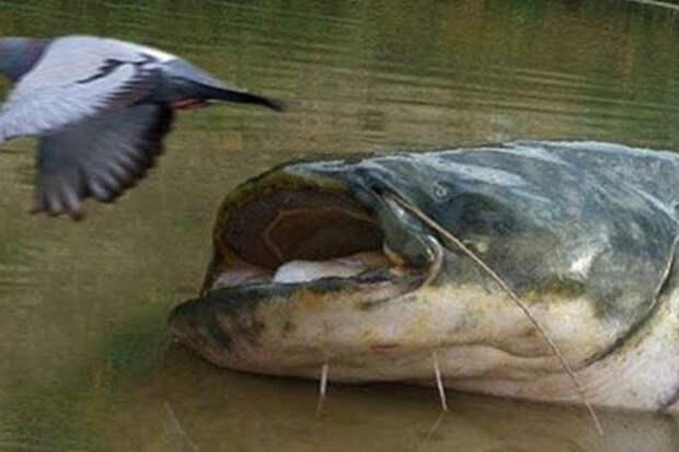 Как охотятся сомы из под воды