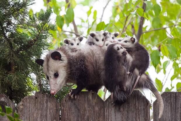 родители животные с их детенышами  опоссум