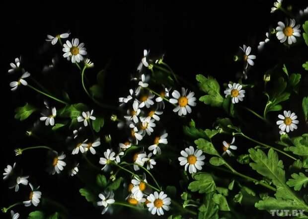 Ромашки гвоздика, интересно, растение, роза, тюльпан, факты, цветок, цветы