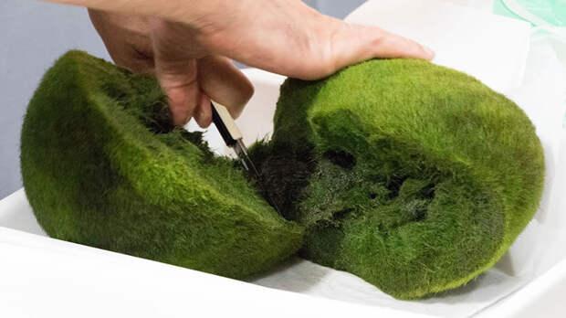 Внешне кладофора напоминает мох, однако это – колония зелёных водорослей