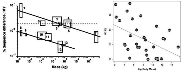 Рис. 4. Зависимость скорости накопления изменений в мДНК от размеров