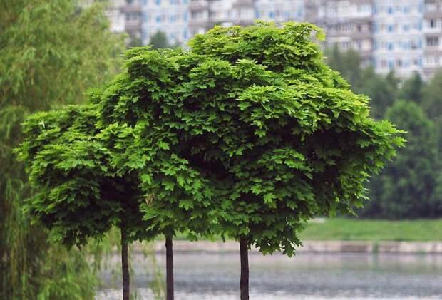 Кронирование деревьев на Базовской проведут после лета