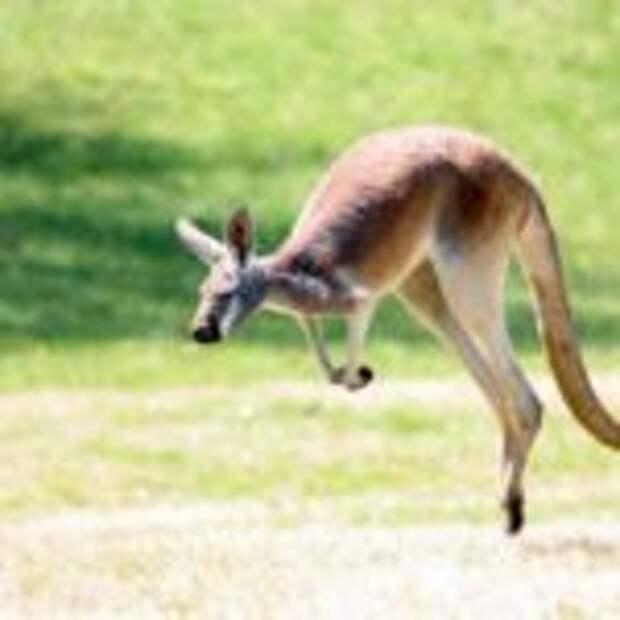 Кенгуру — удивительное сумчатое млекопитающее
