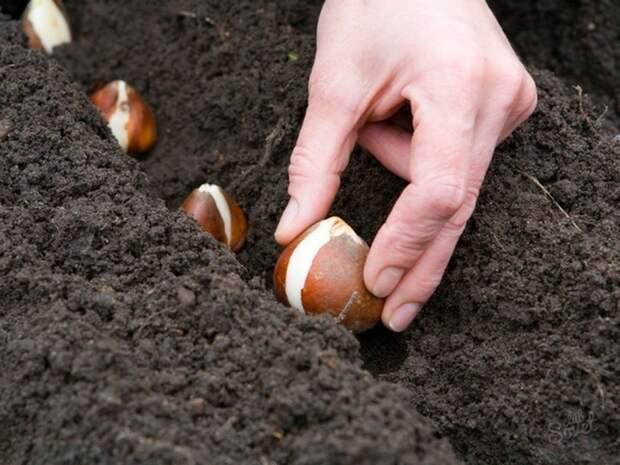 Интересный способ посадки луковичных культур
