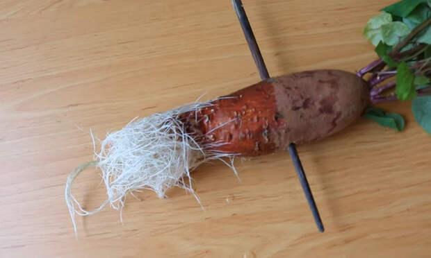 Как легко вырастить батат