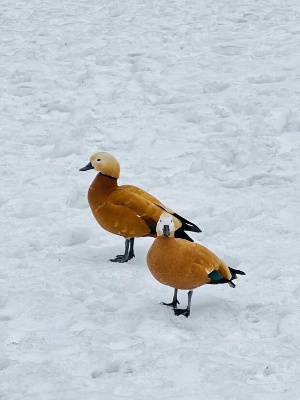 В парк «Кузьминки» прибыли утки-разведчики