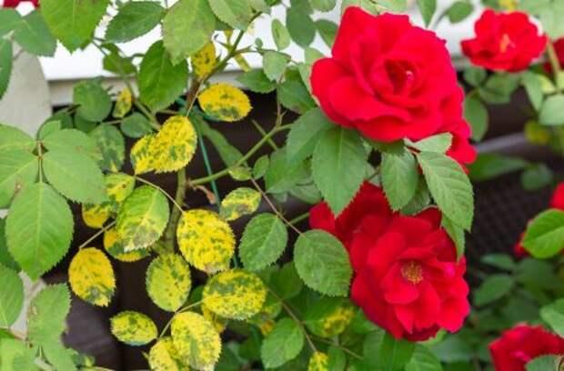 Резко потеплело – что делать с розами