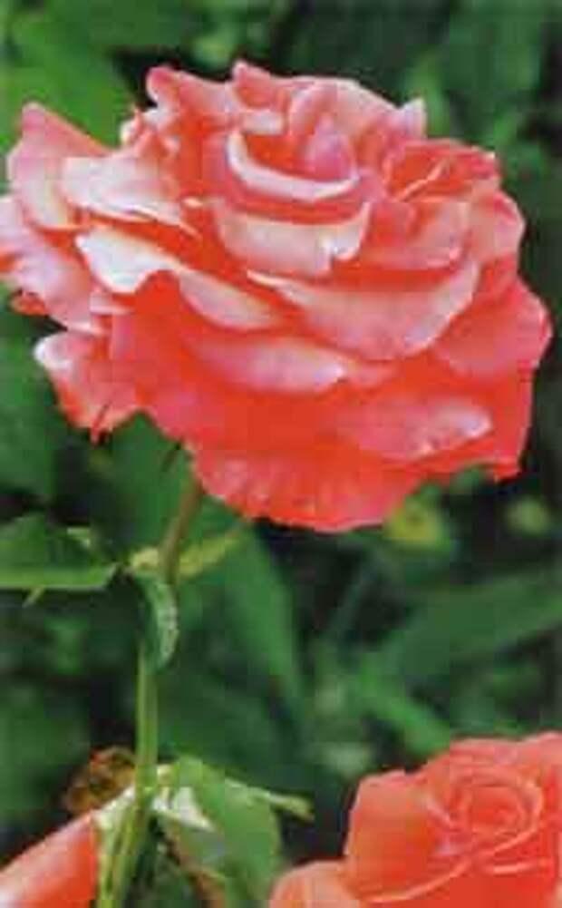 Взрослая корнесобственная роза