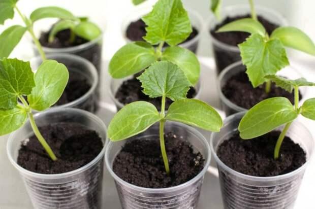 Огурцы взойдут за 5 дней — 100 % посев без земли