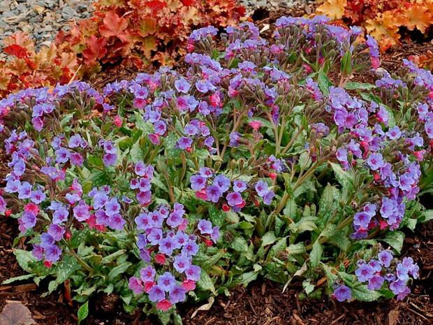 Многолетний садовый цветок Медуница (Pulmonaria)