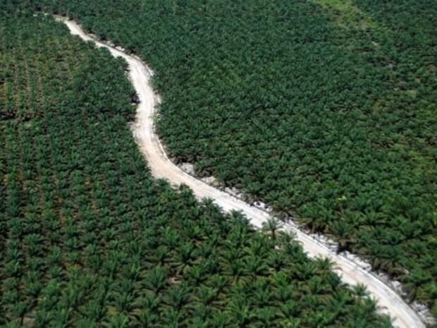 Эта дорога проходит через пальмовую плантацию в Индонезии.