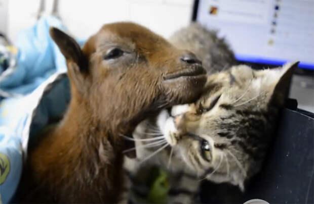Больной кот помогает выздоравливать другим животным