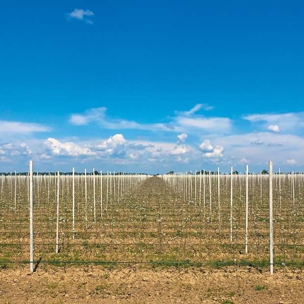 Весь процесс выращивания яблок в интенсивных садах