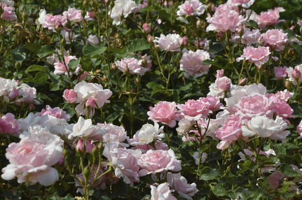 Розы как монокультура. Фото автора
