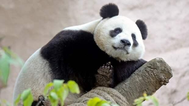 Эдинбургский зоопарк обвинили в сексуальном насилии над китайскими пандами