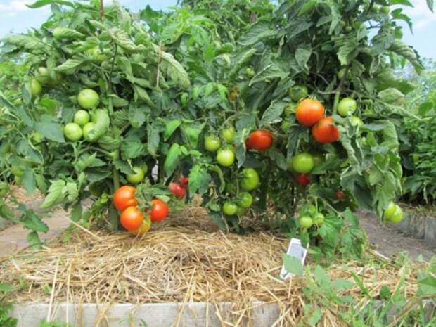 Мульчирование томатов - шаг к высокому урожаю