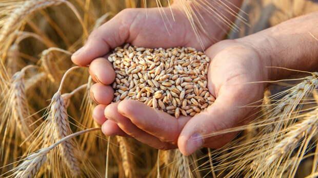 Экспорт российской пшеницы снова растет в цене