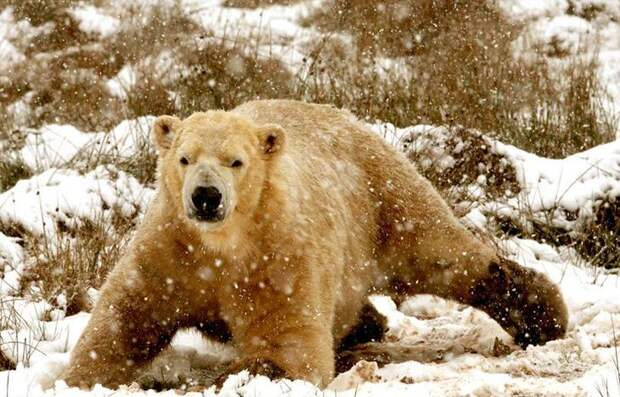 Сердитый медведь
