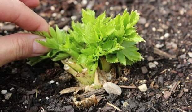 Как сократить пробуждение сельдерея семян вдвое