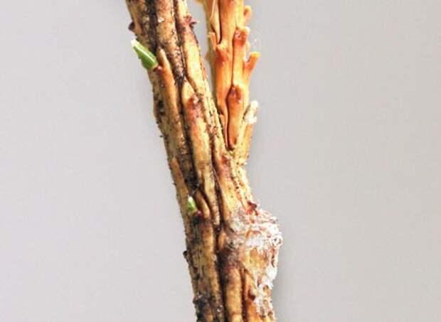 Прививка хвойных растений, как привить хвойные растения вприклад, совмещение привоя и подвоя
