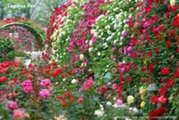 8 простых секретов выращивания роз в саду