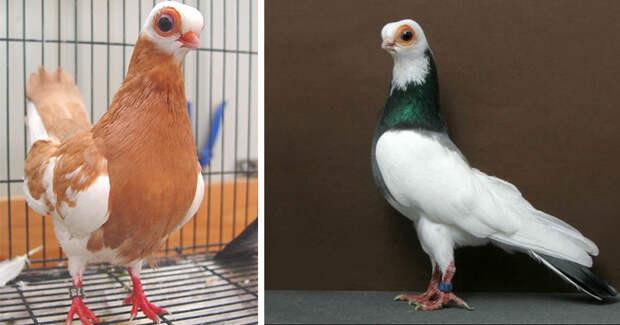 Будапештский короткоклювый турман  – жутковатый голубь, мопс птичьего мира