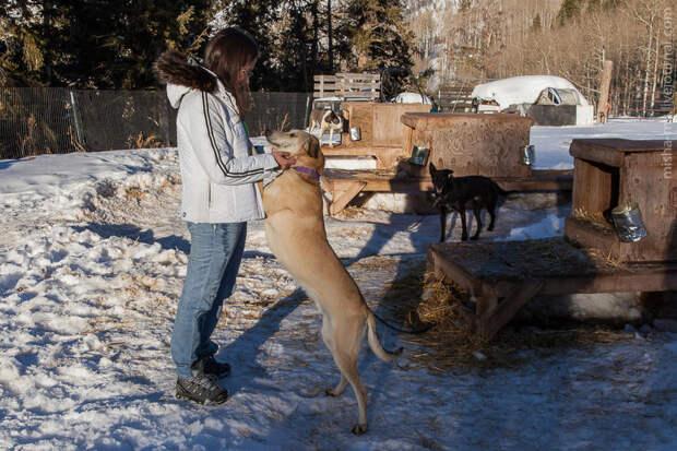 Ездовые собаки на горнолыжном курорте Aspen Snowmass