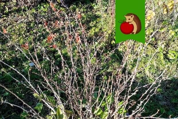 Шесть процедур, которые приведут к повышению урожайности крыжовника
