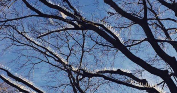 Птицам больше нельзя сидеть на деревьях? Жители одного из богатых районов Бристоля прибили шипы на ветки…