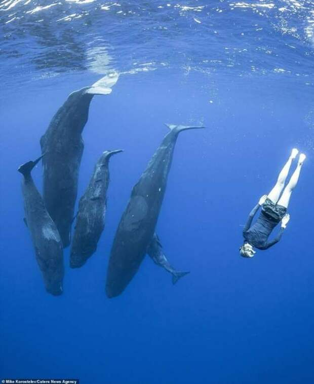 Самка кашалота кормит детеныша: потрясающие подводные фотографии Михаила Коростелева (18 фото)