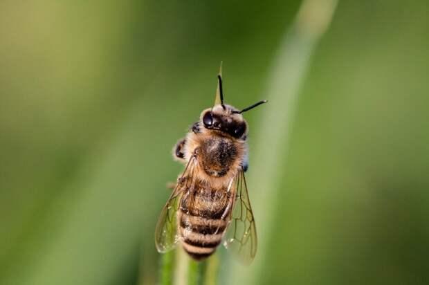 Ребенка укусила пчела: что делать?
