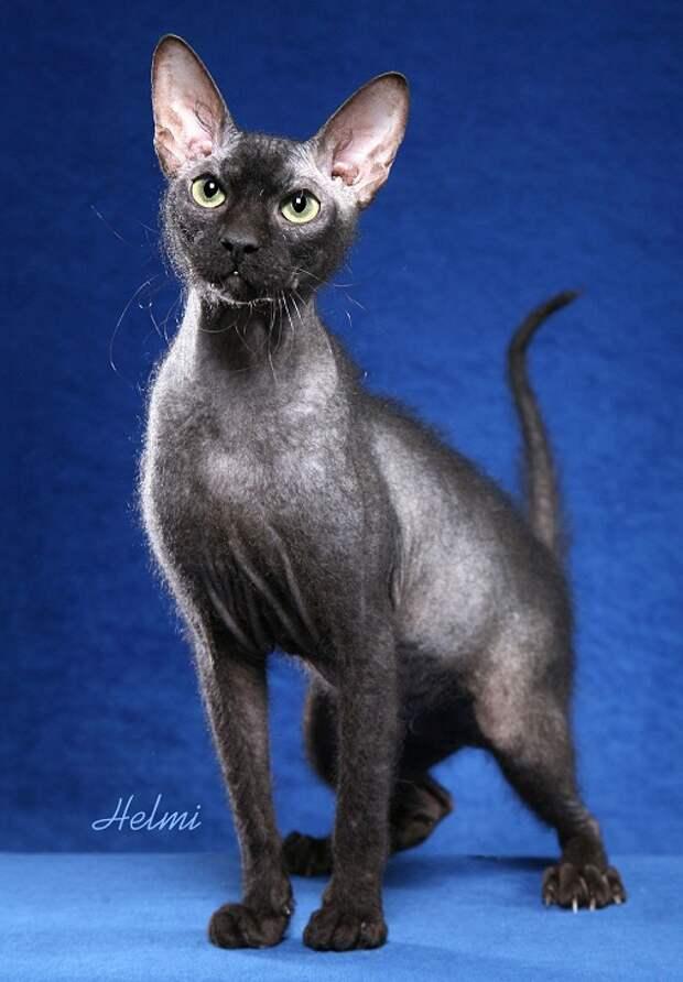 самые дорогие породы кошек: Петерболд (петербургский сфинкс). фото