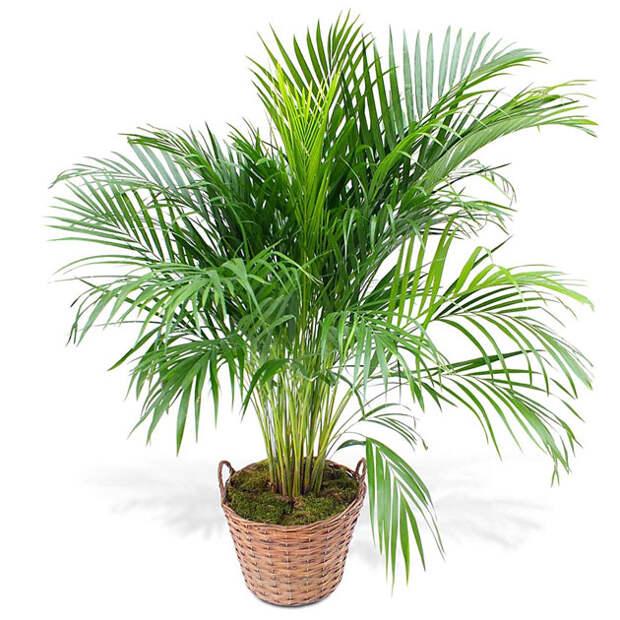 2Бетелевая пальма