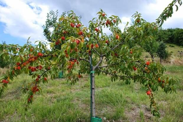 Почему не плодоносит абрикос