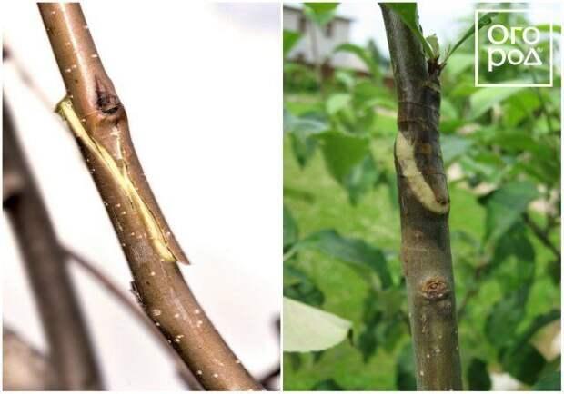 Прививка плодовых деревьев весной, копулировка